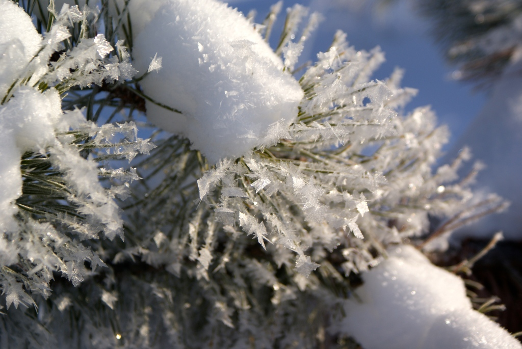Frost on Spruce